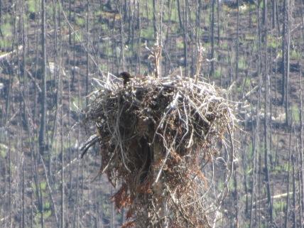 Visarend in nest